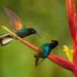Kolibřík hyacintový   Foto Libor Vaicenbacher