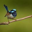 Modropláštník-nadherný   Foto Libor Vaicenbacher