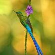 Sylfa fialovoocasá   Foto Libor Vaicenbacher