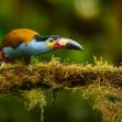 Tukan modrý   Foto Libor Vaicenbacher