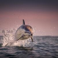Příběhy divokého oceánu / Wild Ocean Stories © George Karbus: Delfín obecný při výskoku v překrásném východu slunce u ostrova Blasket Island, Západní pobřeží Irska / Common dolphin jumps during abeautiful sunrise near Blasket Island, West Coast of Ireland