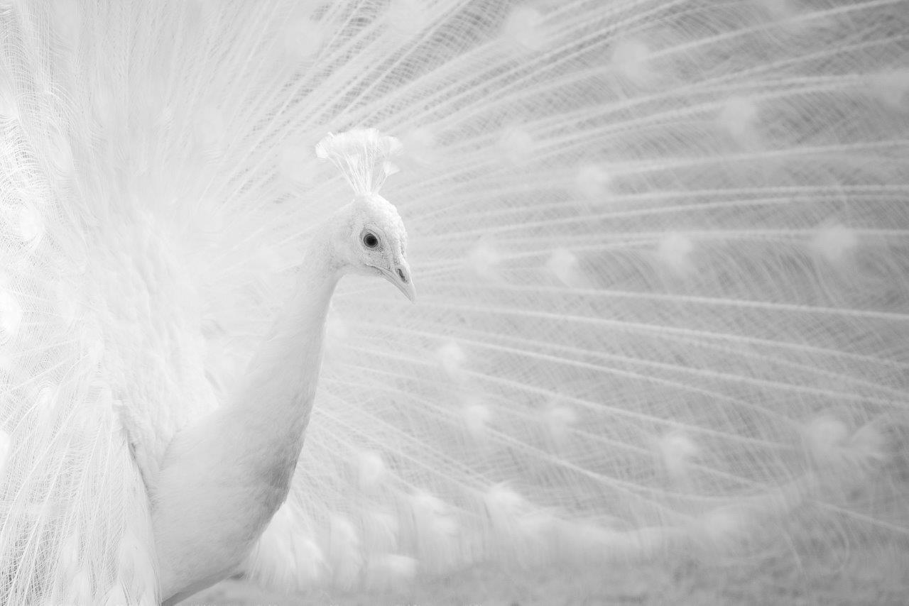 Jaroslav Hora, Bíla krása – Páv korunkatý, Nikon D610 | Fotografie z Nikon kalendáře 2018