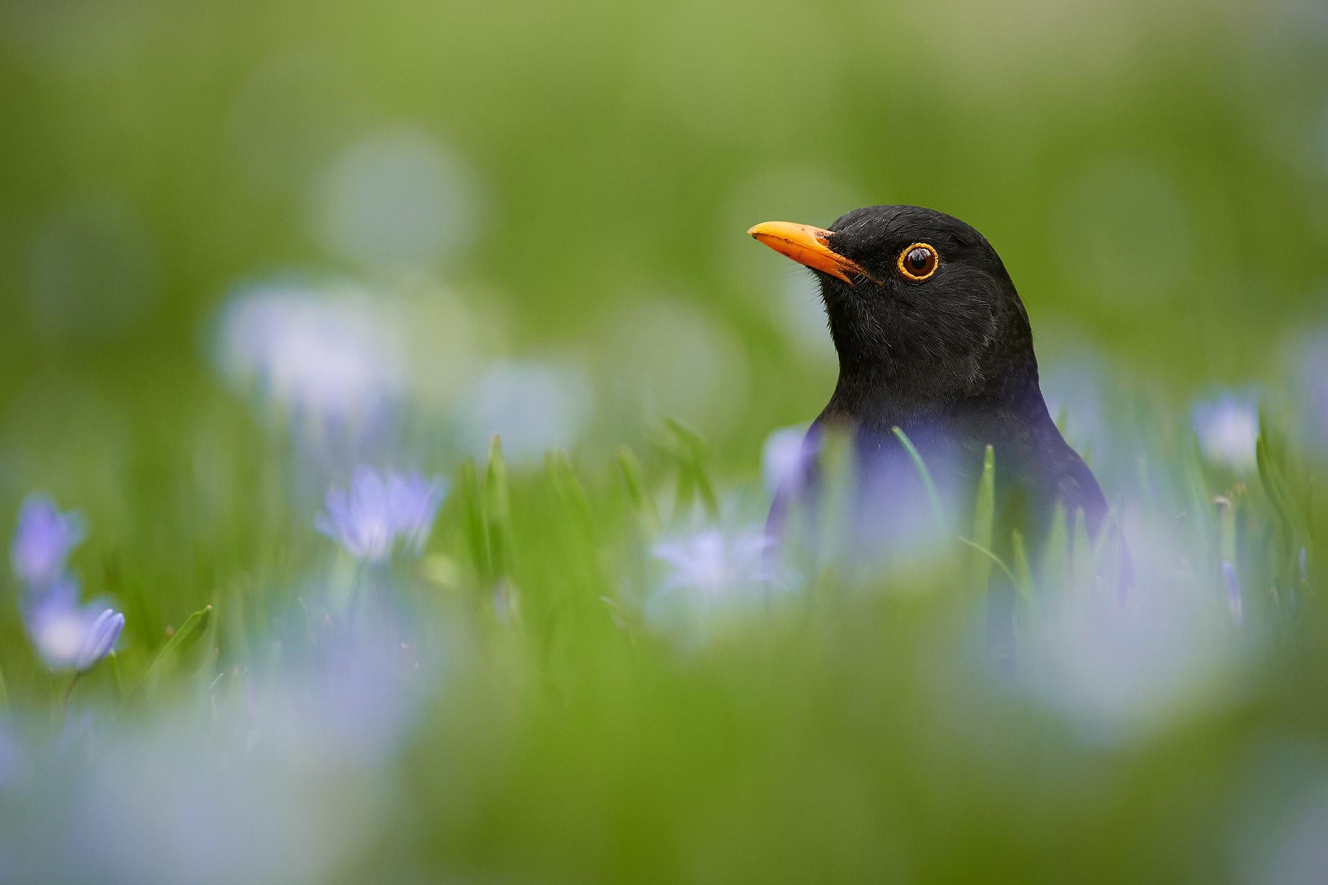 Kos černý   Foto Libor Vaicenbacher