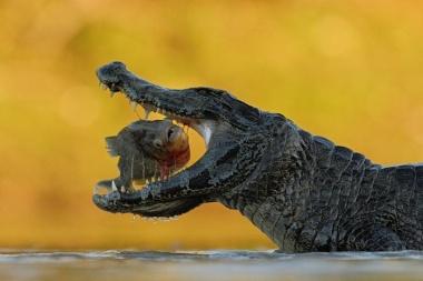 ONDŘEJ PROSICKÝ, volný fotograf: Kajman. Divoká příroda, Brazílie, září 2011 (série)