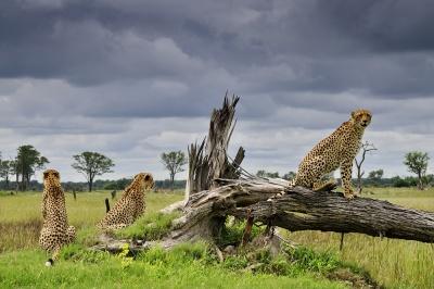 Gepard šštíhlý, Delta Okavanga, Botswana | Foto Petr Slavík