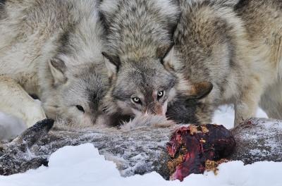 Vlci nad kořistí, Minnesota, USA | Foto Petr Slavík